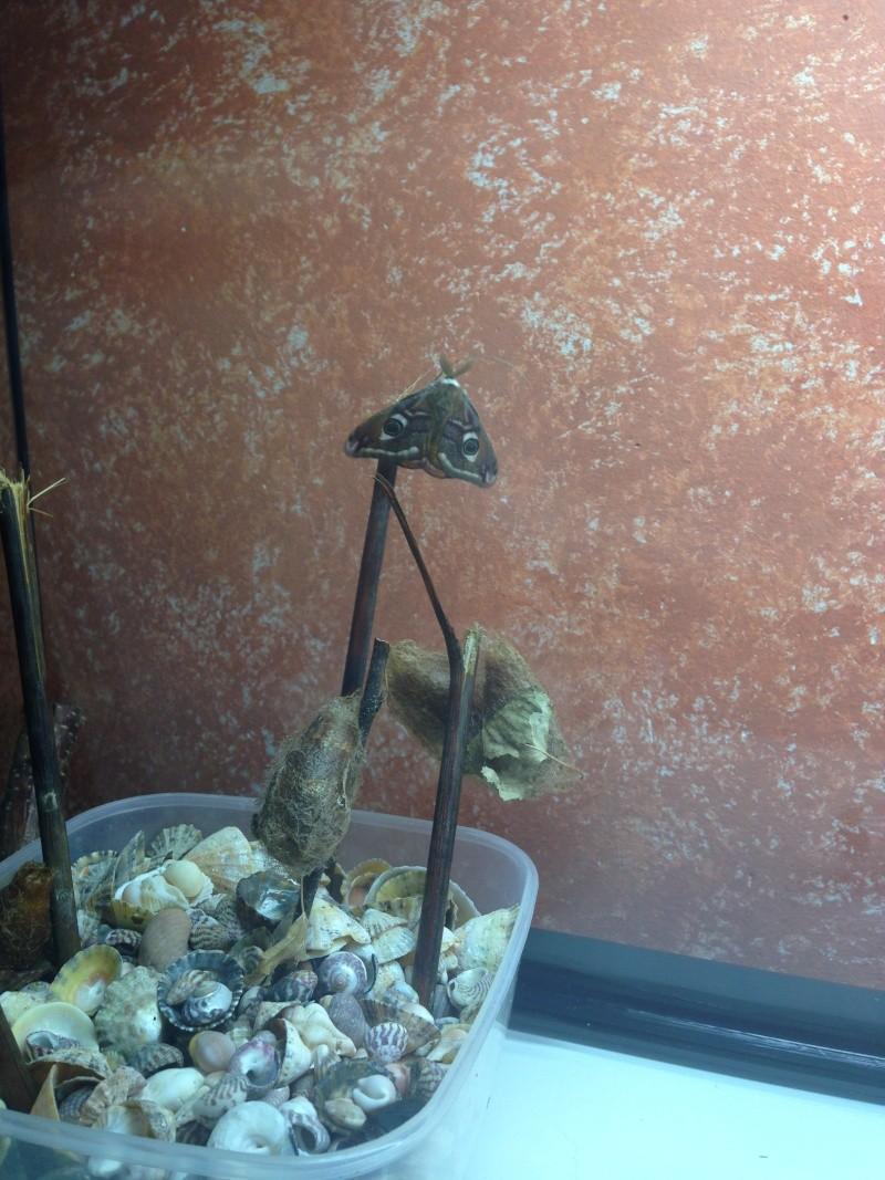 Saturnia pavonia (Petit paon de nuit) Img_0128