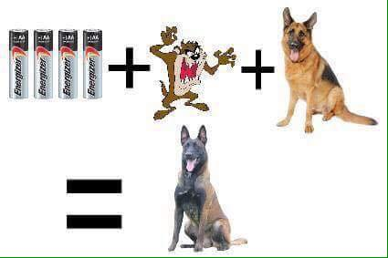 Мои собаки ! (немцы ,малинуа,хаски ,пины ,дог... 13775510