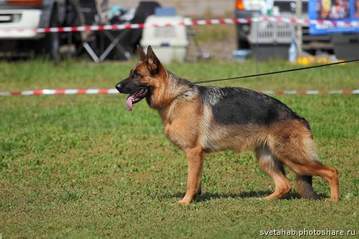 Мои собаки ! (немцы ,малинуа,хаски ,пины ,дог... 5r5yiy11