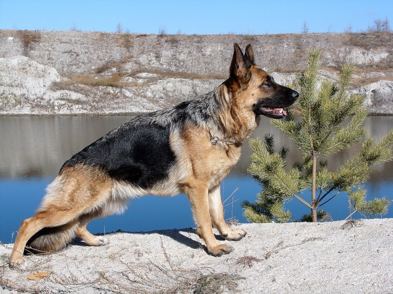 Мои собаки ! (немцы ,малинуа,хаски ,пины ,дог... 81010