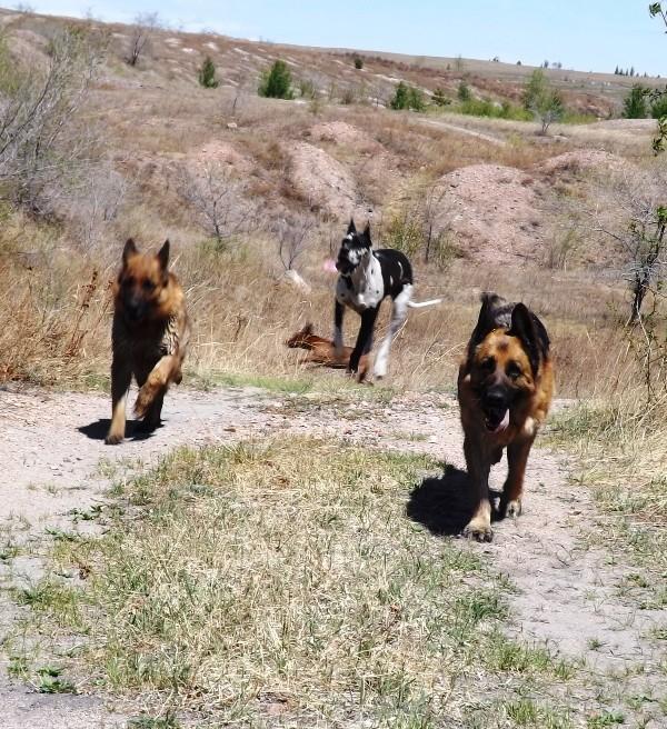 Мои собаки ! (немцы ,малинуа,хаски ,пины ,дог... - Страница 2 Dscf8711