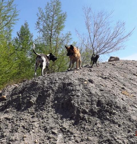 Мои собаки ! (немцы ,малинуа,хаски ,пины ,дог... - Страница 2 Dscf8712