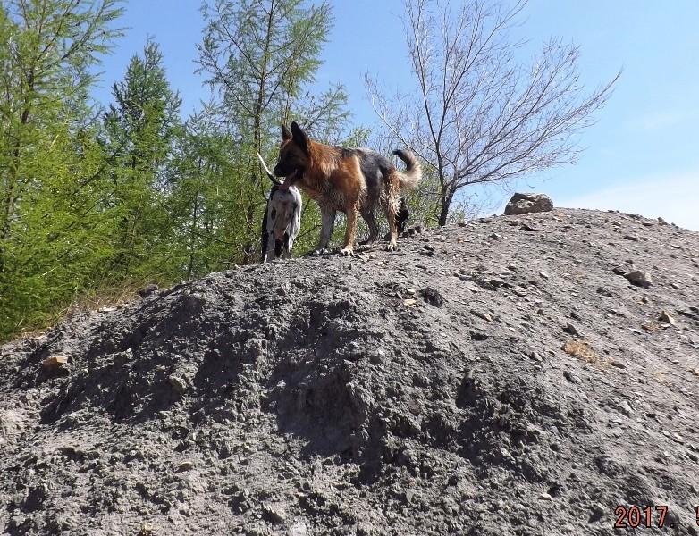 Мои собаки ! (немцы ,малинуа,хаски ,пины ,дог... - Страница 2 Dscf8713