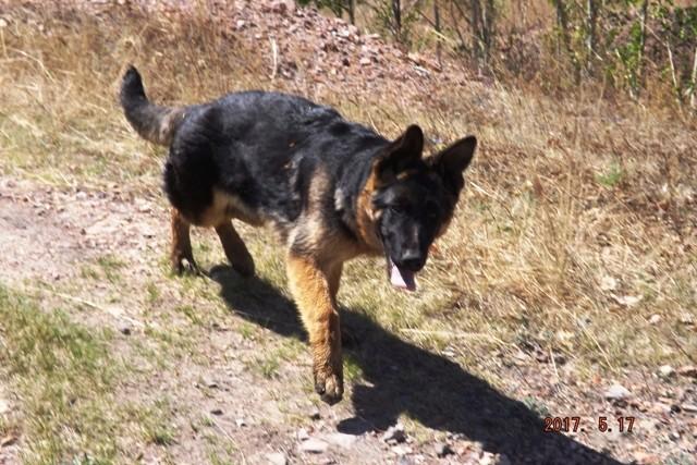 Мои собаки ! (немцы ,малинуа,хаски ,пины ,дог... - Страница 2 Dscf8714