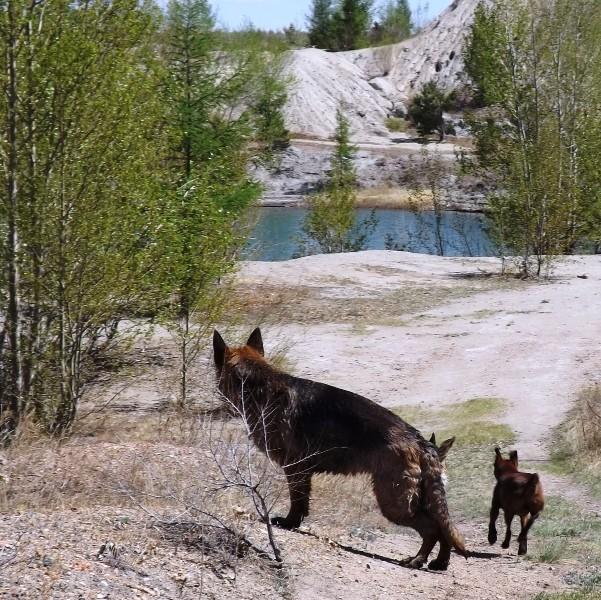 Мои собаки ! (немцы ,малинуа,хаски ,пины ,дог... - Страница 2 Dscf8717