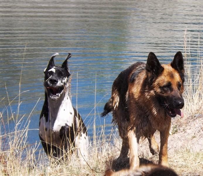 Мои собаки ! (немцы ,малинуа,хаски ,пины ,дог... - Страница 2 Dscf8722