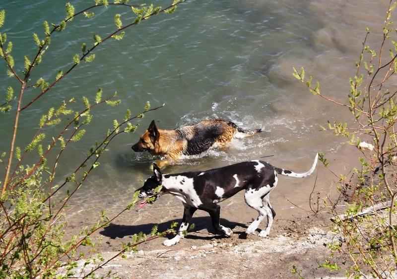 Мои собаки ! (немцы ,малинуа,хаски ,пины ,дог... - Страница 2 Dscf8723