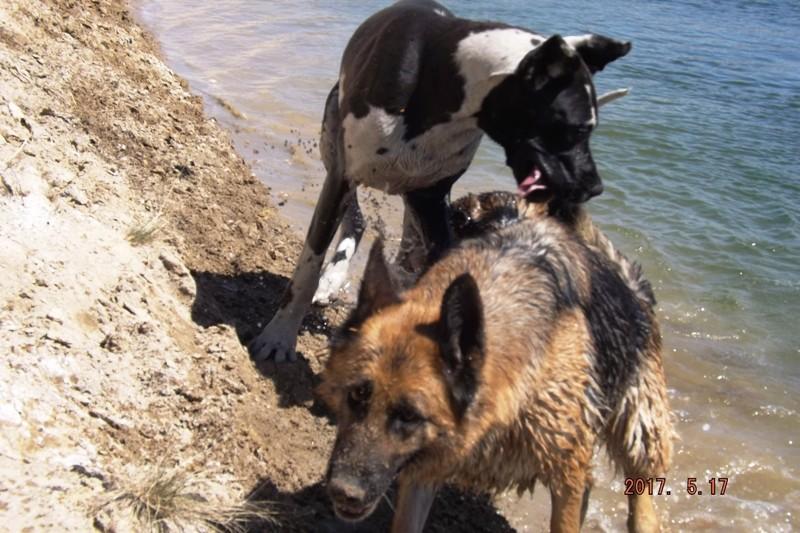 Мои собаки ! (немцы ,малинуа,хаски ,пины ,дог... - Страница 2 Dscf8724