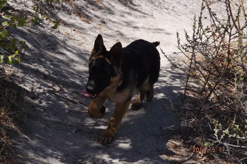 Мои собаки ! (немцы ,малинуа,хаски ,пины ,дог... - Страница 2 Dscf8726