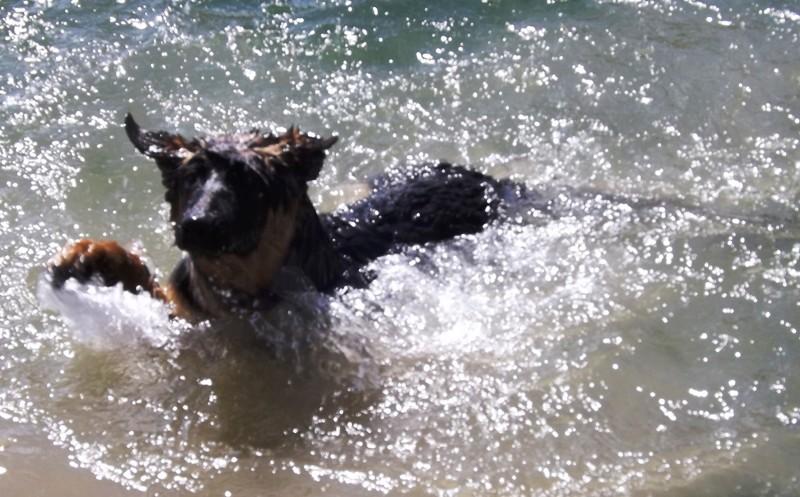 Мои собаки ! (немцы ,малинуа,хаски ,пины ,дог... - Страница 2 Dscf8730
