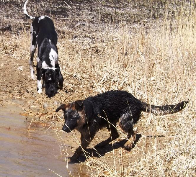 Мои собаки ! (немцы ,малинуа,хаски ,пины ,дог... - Страница 2 Dscf8731