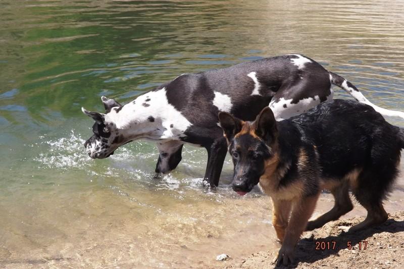 Мои собаки ! (немцы ,малинуа,хаски ,пины ,дог... - Страница 2 Dscf8737