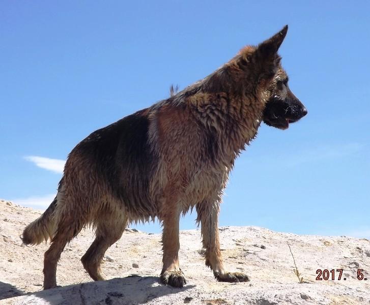 Мои собаки ! (немцы ,малинуа,хаски ,пины ,дог... - Страница 2 Dscf8739
