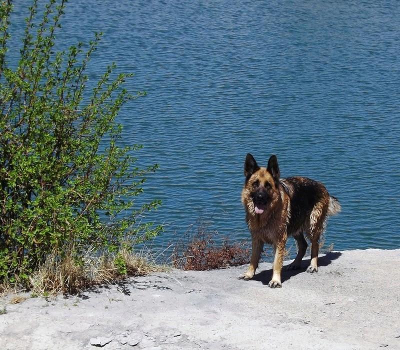 Мои собаки ! (немцы ,малинуа,хаски ,пины ,дог... - Страница 2 Dscf8740