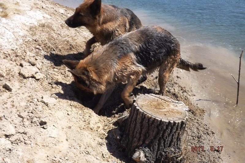Мои собаки ! (немцы ,малинуа,хаски ,пины ,дог... - Страница 2 Dscf8741