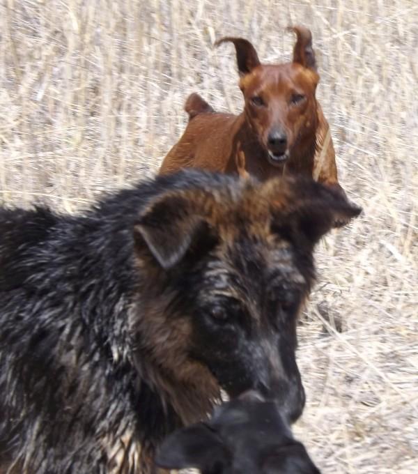 Мои собаки ! (немцы ,малинуа,хаски ,пины ,дог... - Страница 2 Dscf8811