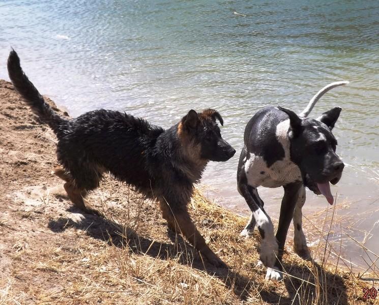Мои собаки ! (немцы ,малинуа,хаски ,пины ,дог... - Страница 2 Dscf8813