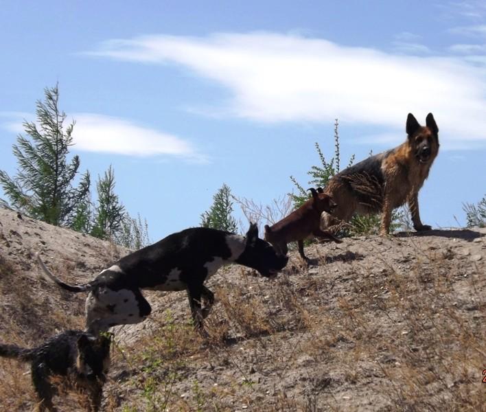 Мои собаки ! (немцы ,малинуа,хаски ,пины ,дог... - Страница 2 Dscf8815