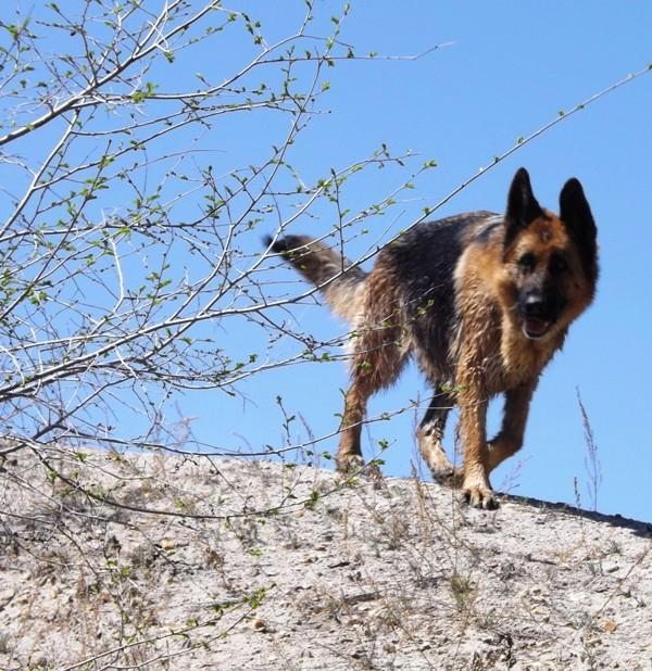 Мои собаки ! (немцы ,малинуа,хаски ,пины ,дог... - Страница 2 Dscf8816