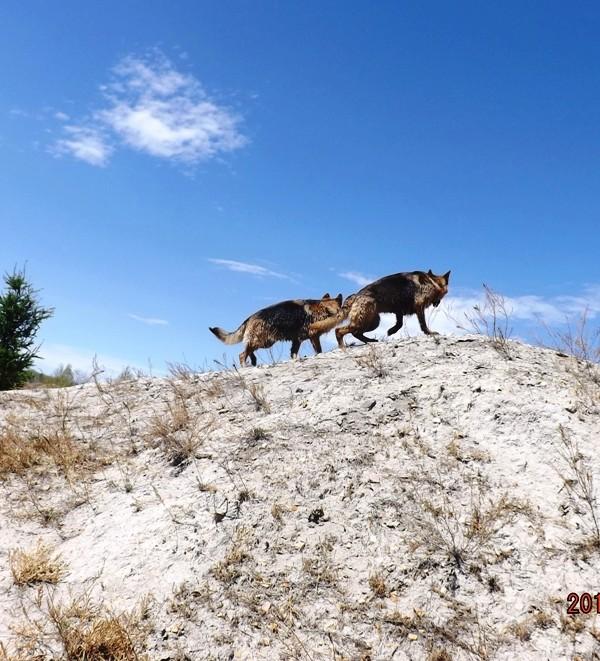 Мои собаки ! (немцы ,малинуа,хаски ,пины ,дог... - Страница 2 Dscf8817