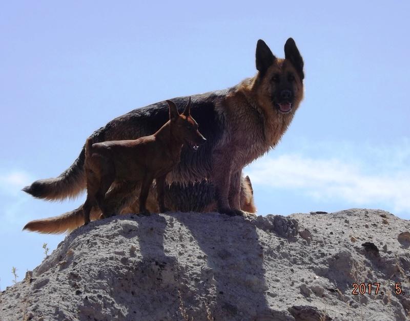 Мои собаки ! (немцы ,малинуа,хаски ,пины ,дог... - Страница 2 Dscf8818