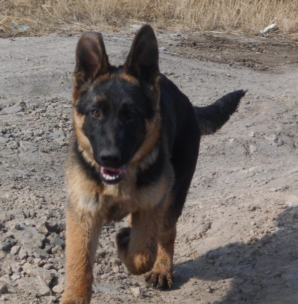 Мои собаки ! (немцы ,малинуа,хаски ,пины ,дог... Dscn1011