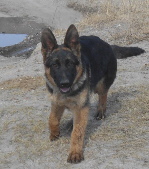 Мои собаки ! (немцы ,малинуа,хаски ,пины ,дог... Dscn1013