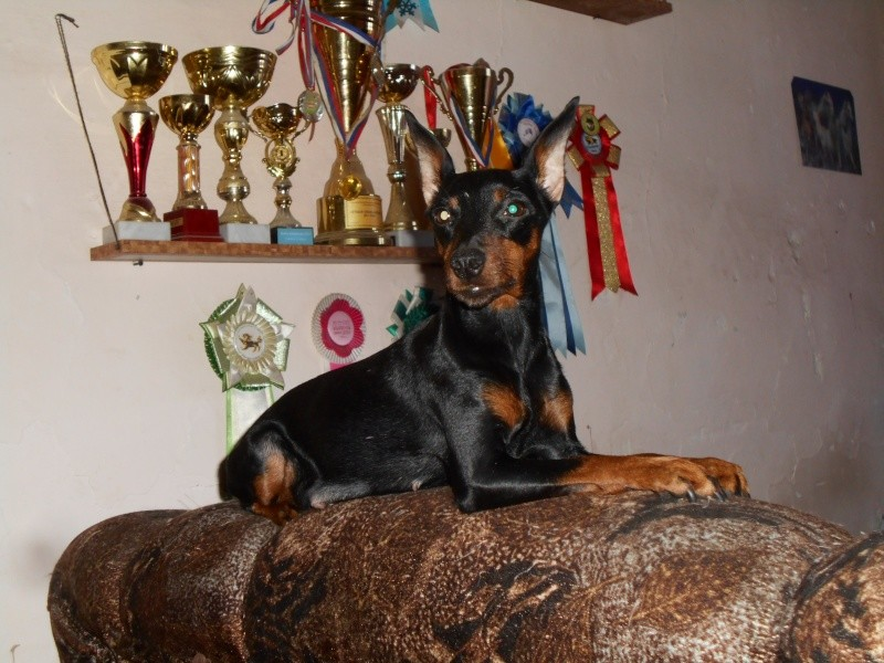 Мои собаки ! (немцы ,малинуа,хаски ,пины ,дог... Image_12
