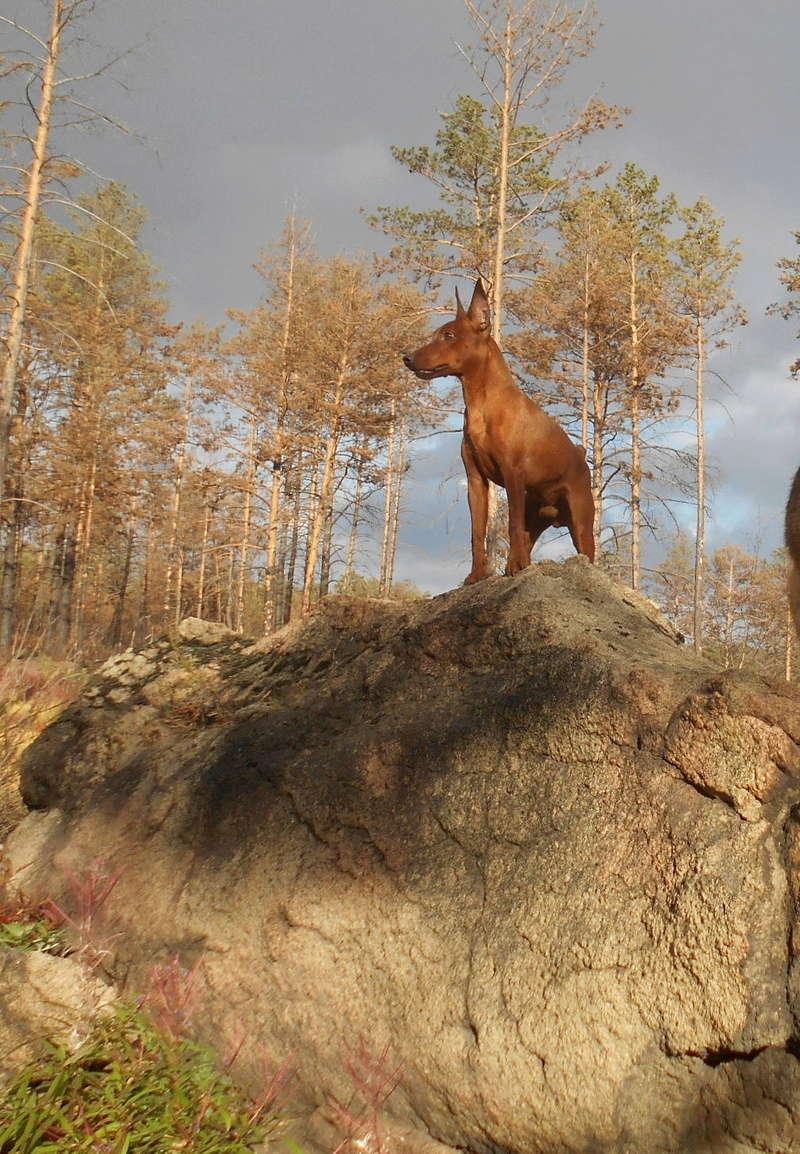 Мои собаки ! (немцы ,малинуа,хаски ,пины ,дог... Image_14