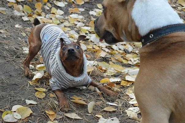Мои собаки ! (немцы ,малинуа,хаски ,пины ,дог... Image_15