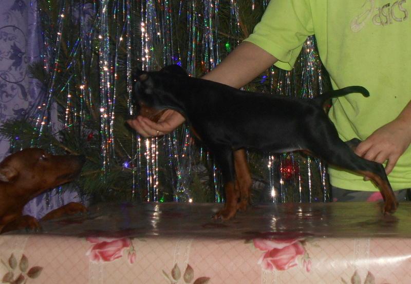 Мои собаки ! (немцы ,малинуа,хаски ,пины ,дог... Image_16