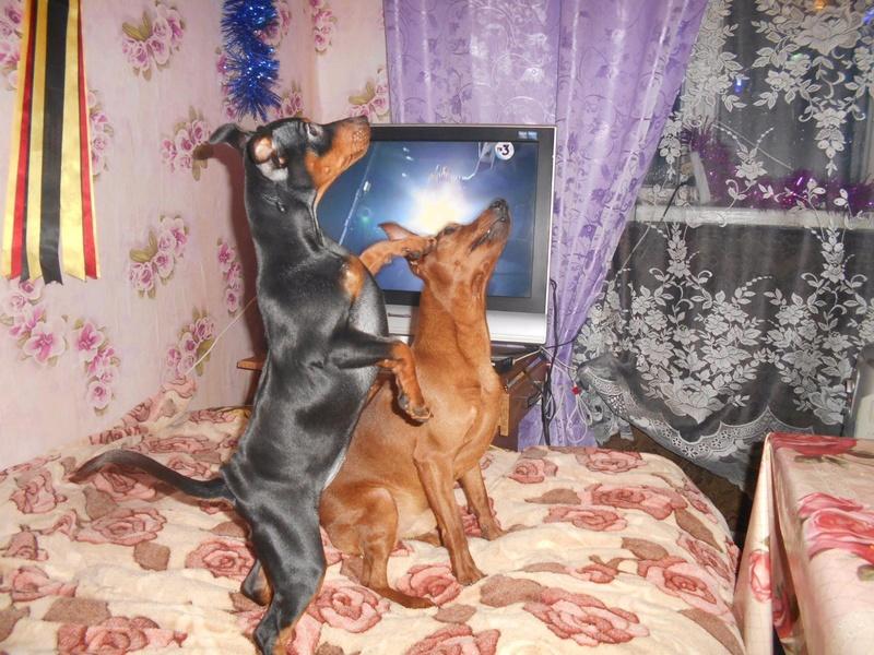 Мои собаки ! (немцы ,малинуа,хаски ,пины ,дог... Image_18