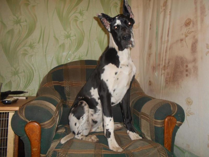 Мои собаки ! (немцы ,малинуа,хаски ,пины ,дог... Image_20
