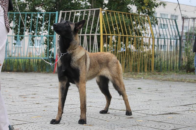 Мои собаки ! (немцы ,малинуа,хаски ,пины ,дог... Img_9610