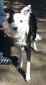 a adopter croiser border collie 423210