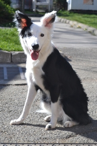 a adopter croiser border collie 423211