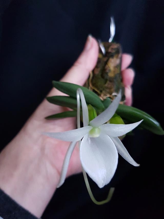 Angraecum aloifolium 20170410