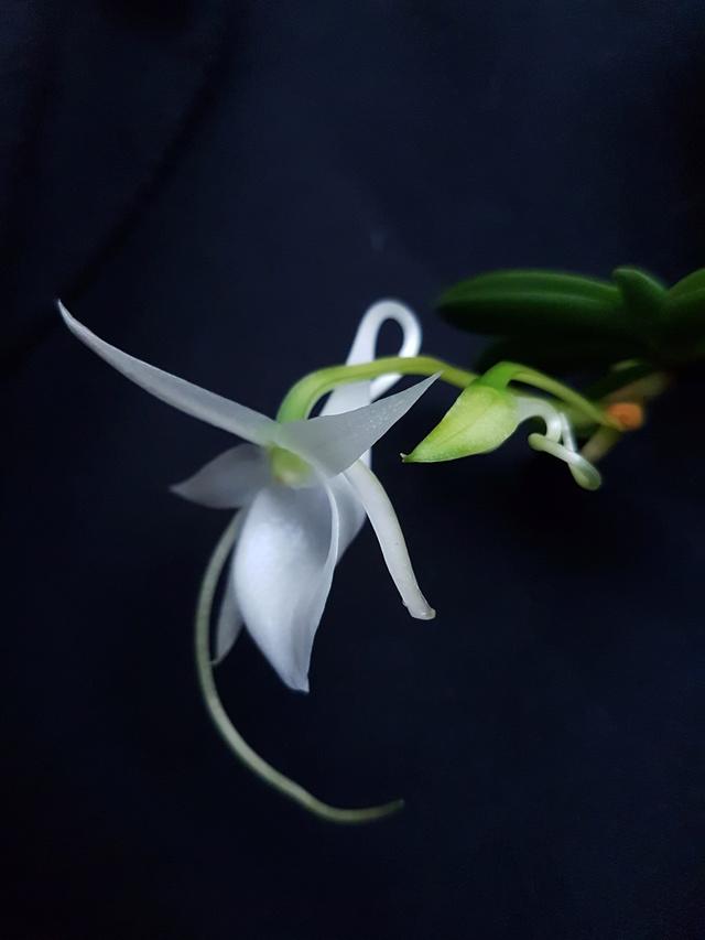 Angraecum aloifolium 20170412