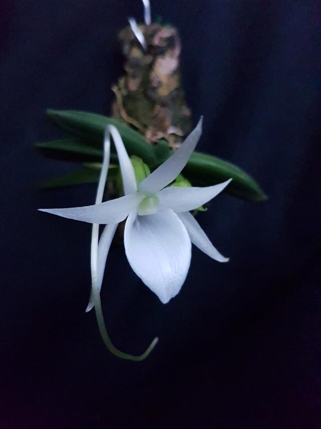 Angraecum aloifolium 20170413