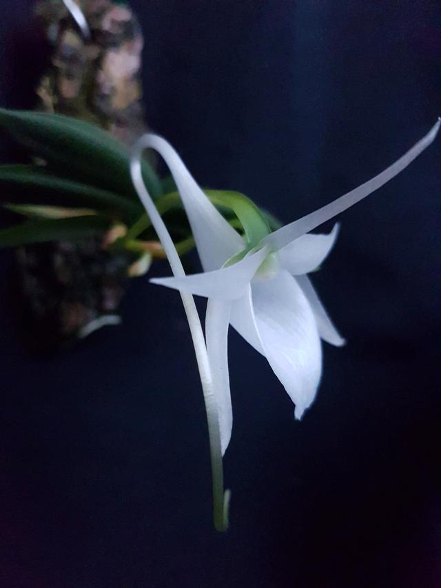 Angraecum aloifolium Aerang10
