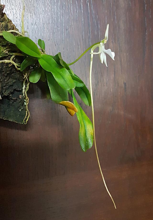 Jumellea densefoliata Jumell10