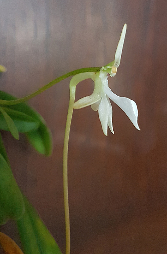 Jumellea densefoliata Jumell22