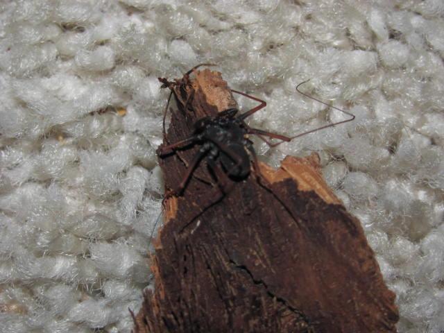 Paraphrynus mexicanus RIP Img_2010