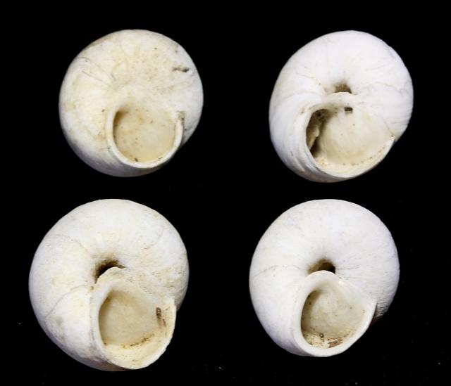 Sphincterochila candidissima (Draparnaud, 1801) Img_3019