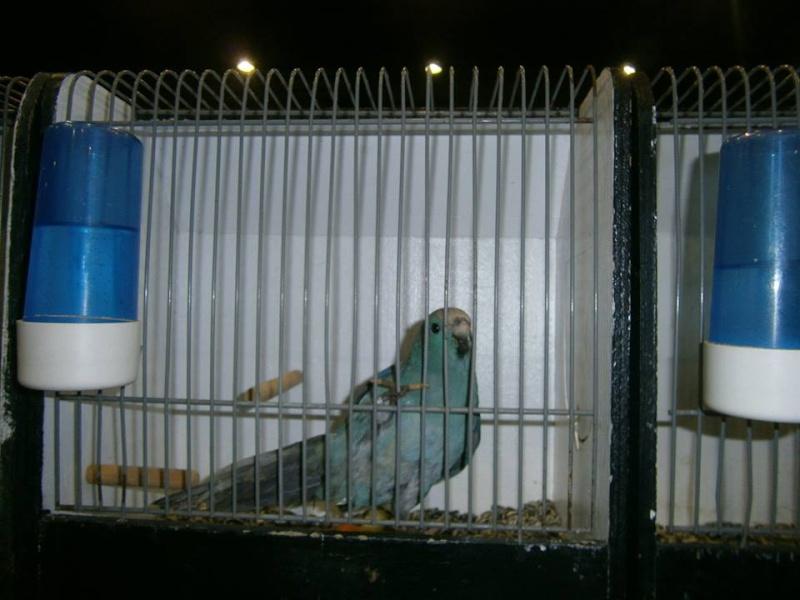 Le kakariki bleu sur le marché 16617010