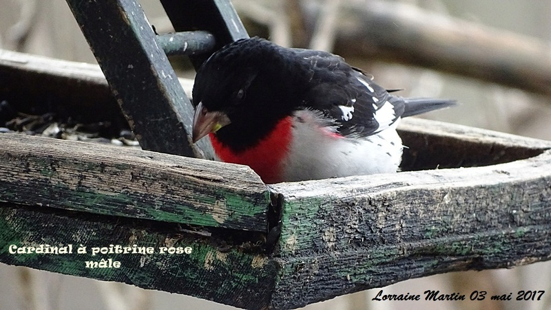 Cardinal à poitrine rose mâle  Cardin17