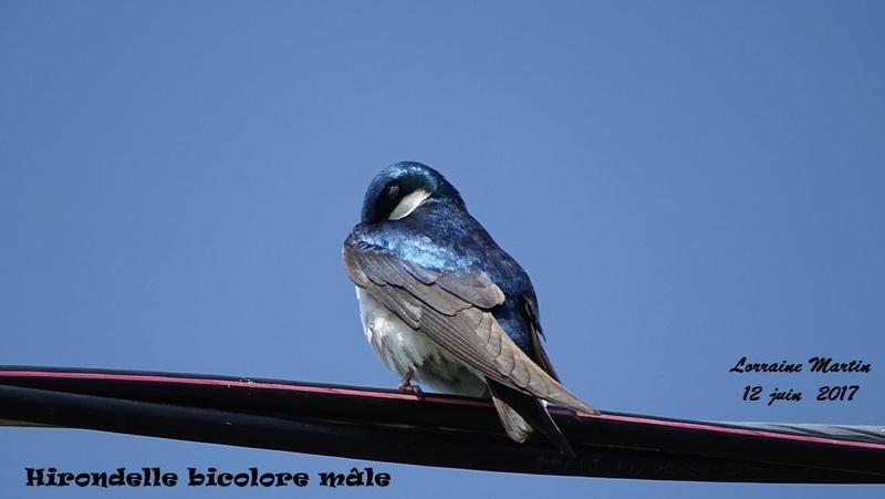 Hirondelle bicolore mâle  Hirond22