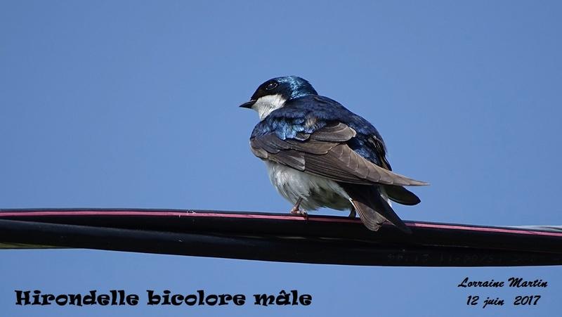 Hirondelle bicolore mâle  Hirond23