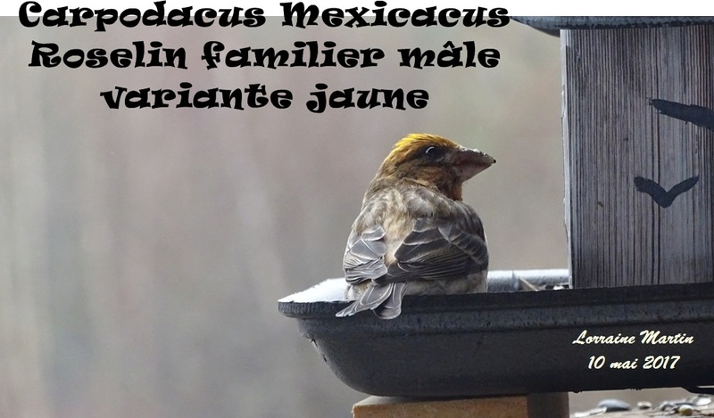 Roselin familier mâle variante jaune (Carpodacus Mexicanus) Spycia17