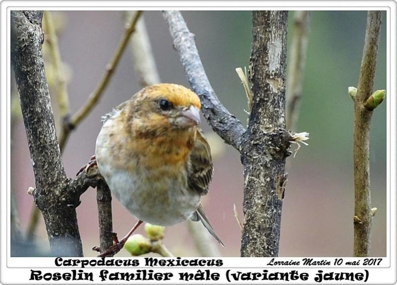 Roselin familier mâle variante jaune (Carpodacus Mexicanus) Spycia19